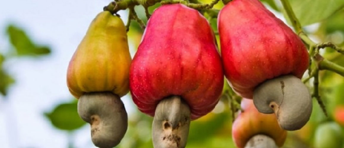 Cashew recorded 262 million dollars as export value for 2018